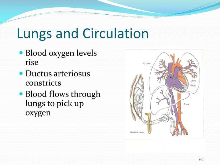 Lungs and Circulation