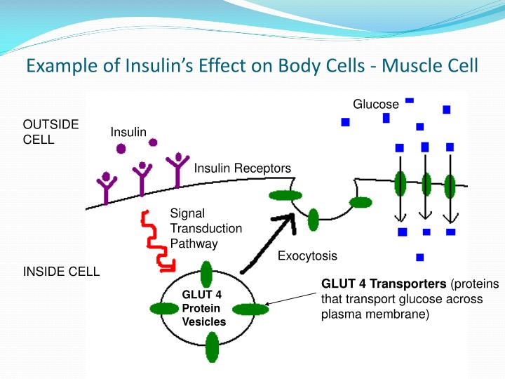 Example of Insulin's Effect on Body Cells - Muscle Cell