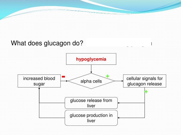 What does glucagon do?  breaks down glycogen