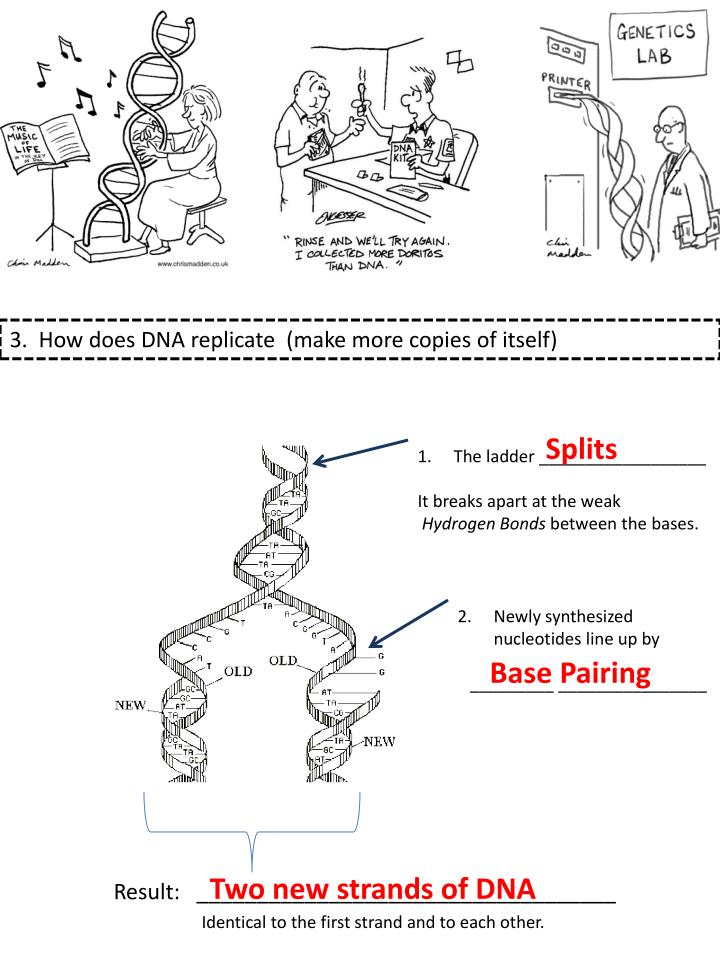 3.  How does DNA replicate  (make more copies of itself)
