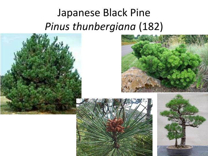 Japanese black pine pinus thunbergiana 182