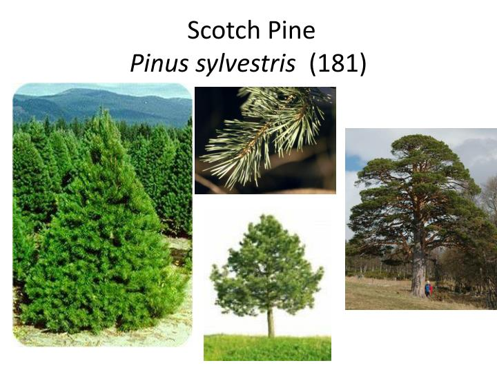 Scotch pine pinus sylvestris 181