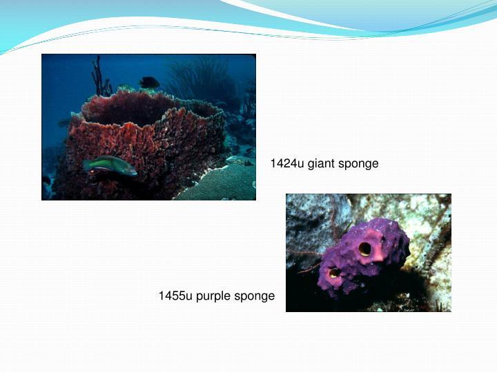 Ppt Sponges Kingdom Animalia Phylum Porifera Powerpoint