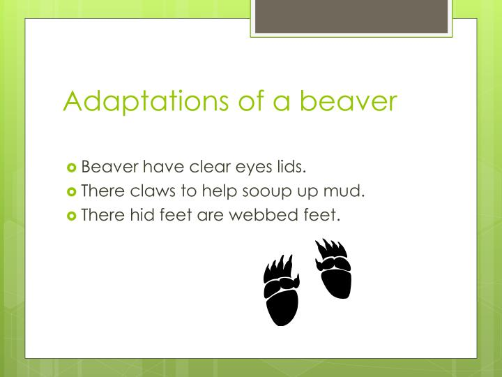Adaptations of a beaver