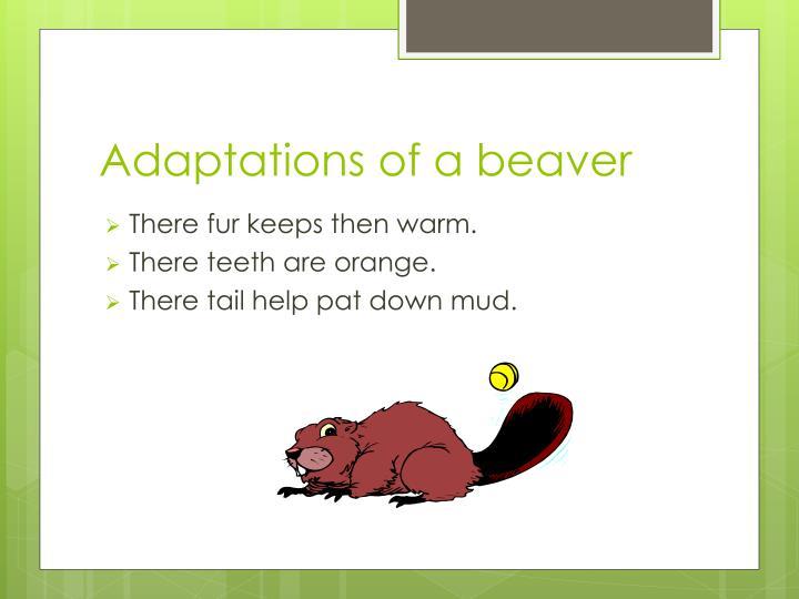 Adaptations of a beaver1