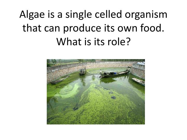 Algae is a single celled organism that can produce its own food.  What is its role?