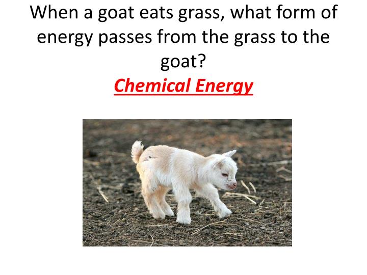 When a goat eats grass, what form of energy passes from the grass to the goat