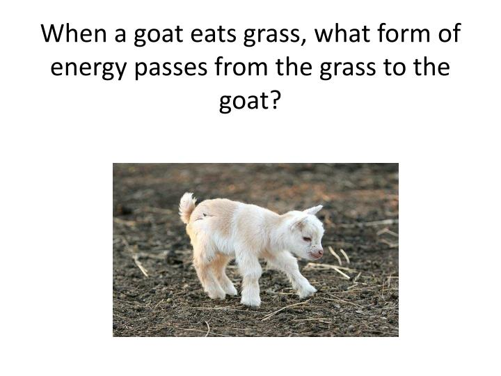 When a goat eats grass, what form of energy passes from the grass to the goat?