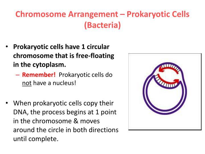 Chromosome Arrangement – Prokaryotic Cells (Bacteria)