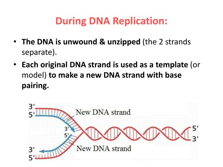 During DNA Replication: