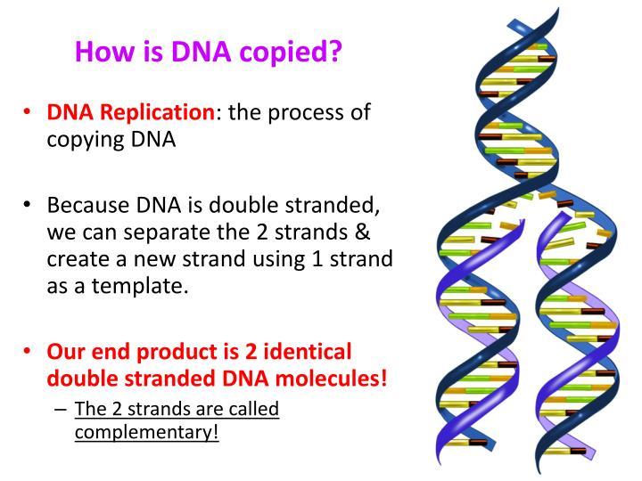 How is DNA copied?