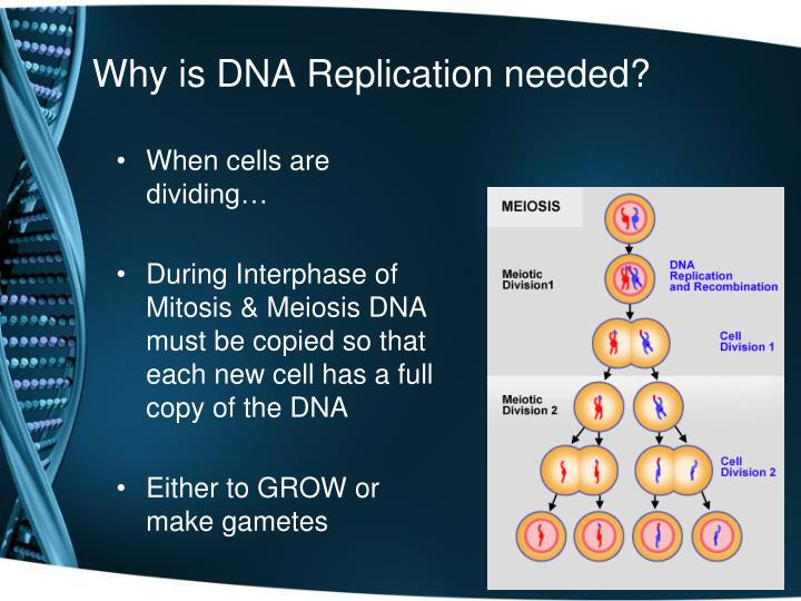 Why is dna replication needed