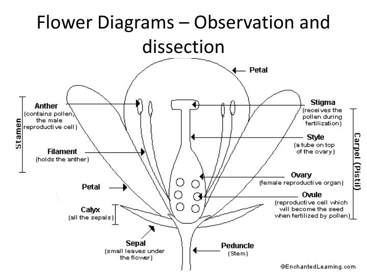 Flower Diagrams – Observation and dissection