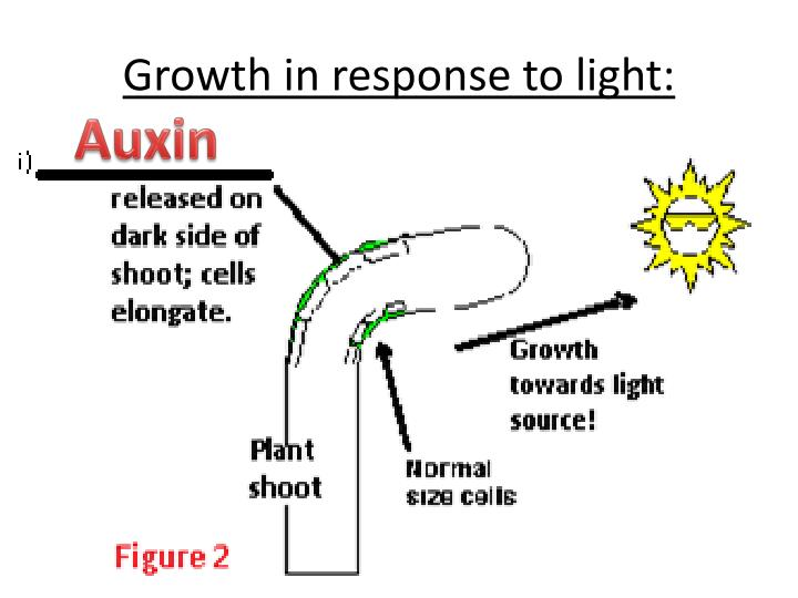 Growth in response to light: