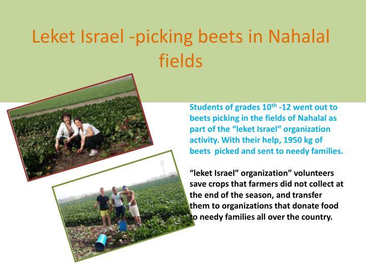 Leket israel picking beets in nahalal fields