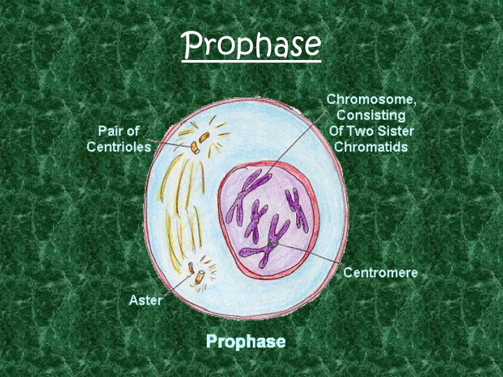 Prophase