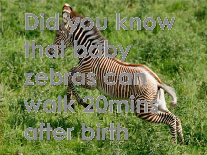 Did you know that baby zebras can walk 20mins after birth