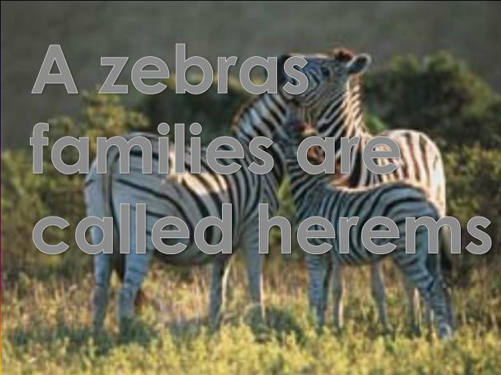 A zebras families are called