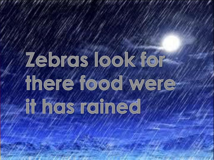 Zebras look for there food were it has rained