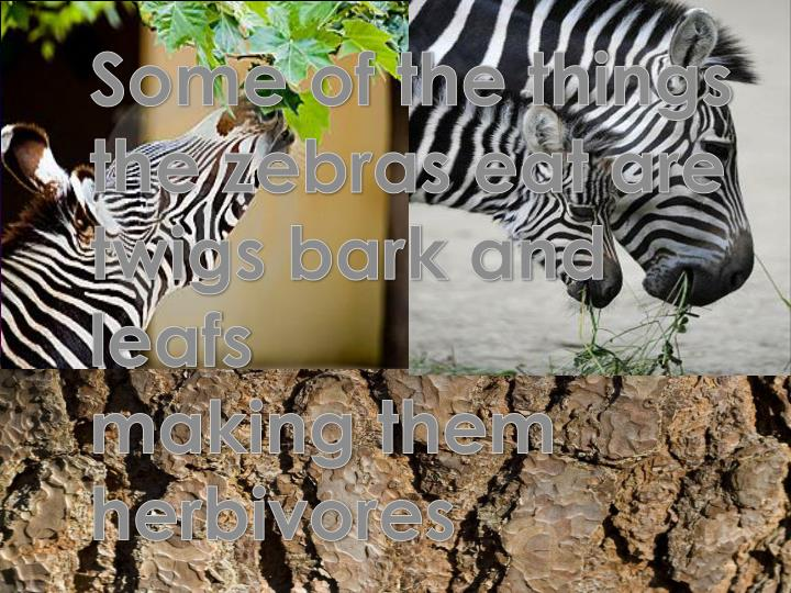 Some of the things the zebras eat are twigs bark and leafs