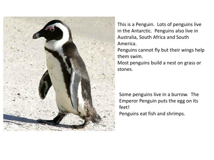 This is a Penguin. Lots of penguins live in the Antarctic. Penguins also live in Australia, South Africa and South America.