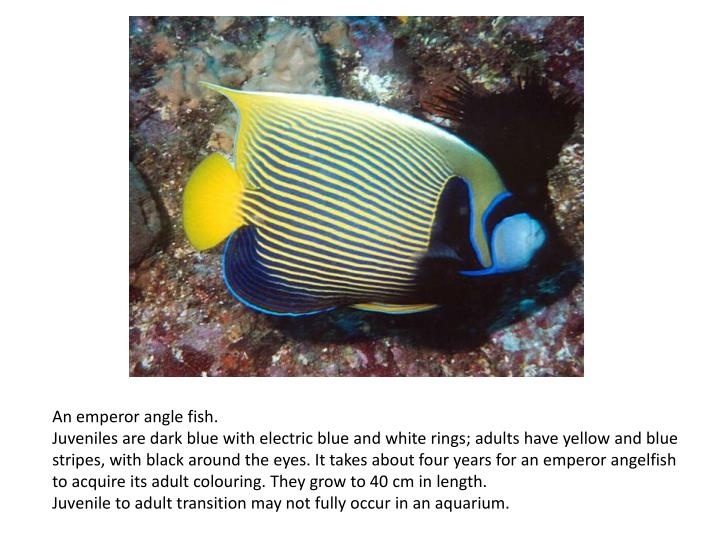 An emperor angle fish.