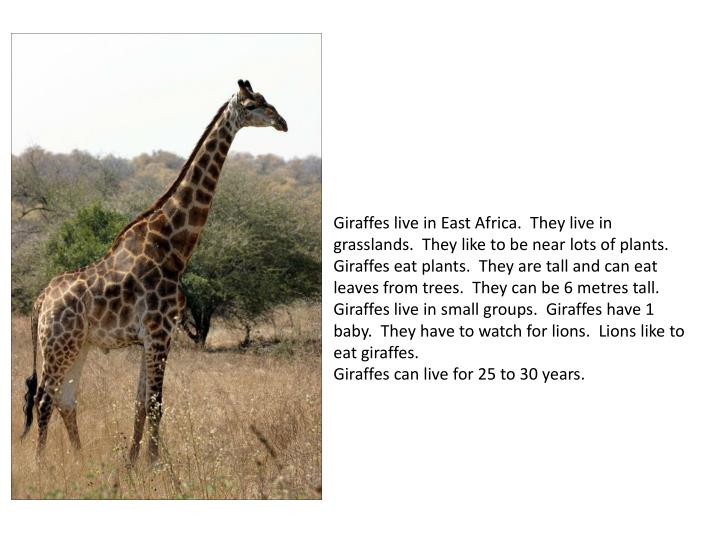 Giraffes live in East Africa. They live in grasslands. They like to be near lots of plants.