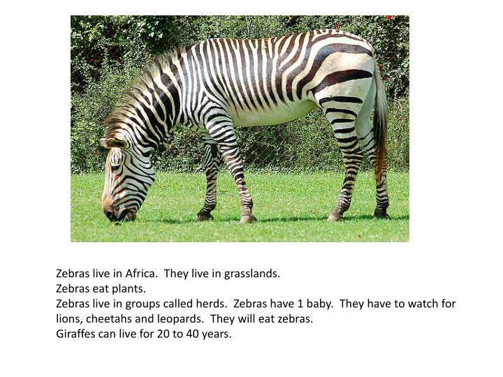 Zebras live in Africa. They live in grasslands.