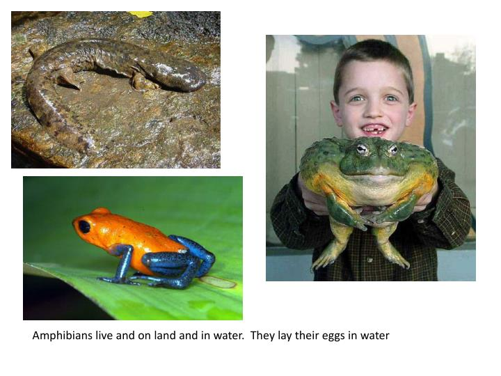Amphibians live and on land and in water.  They lay their eggs in water