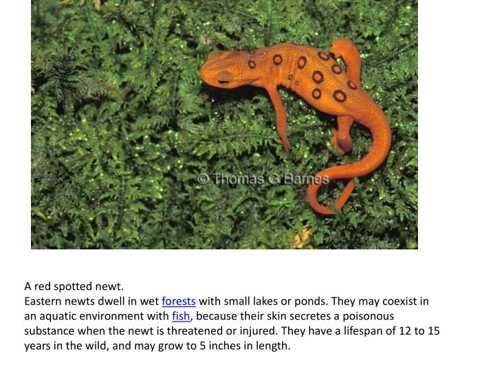 A red spotted newt.