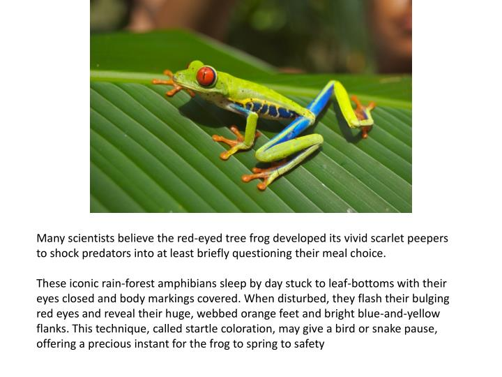 Many scientists believe the red-eyed tree frog developed its vivid scarlet peepers to shock predators into at least briefly questioning their meal choice.