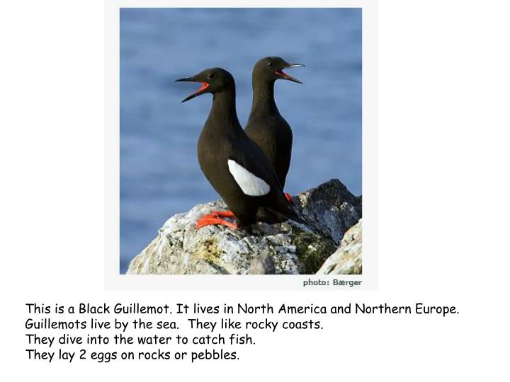This is a Black Guillemot.It lives in North America and Northern Europe.