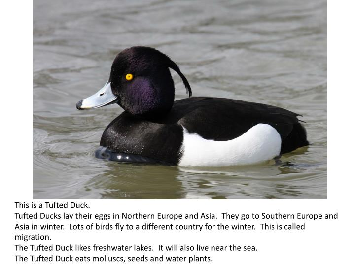 This is a Tufted Duck.