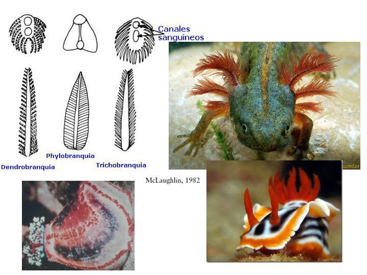 http://www.parasitosypatogenos.com.ar/archivos/UNIDAD%202%202da/tipos%20branquia.jpg