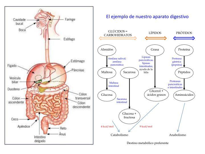 El ejemplo de nuestro aparato digestivo