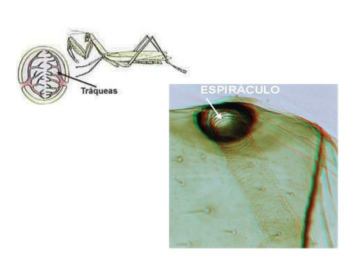 http://www.profesorenlinea.cl/Ciencias/RespiracionAnimal.htm