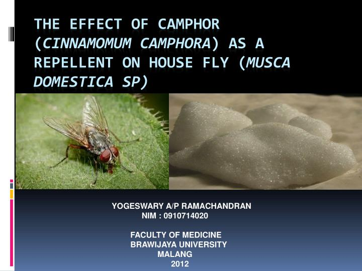 The effect of camphor cinnamomum camphora as a repellent on house fly musca domestica sp