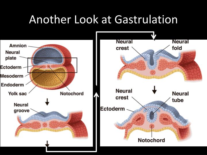 Another Look at Gastrulation