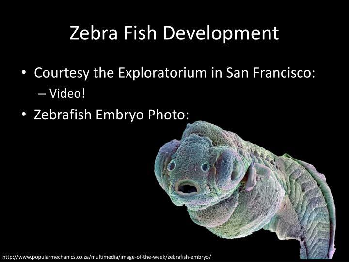 Zebra Fish Development