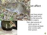 shrews poison does not affect humans