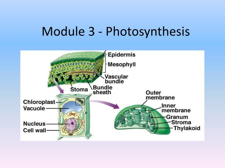 module 3 photosynthesis n.