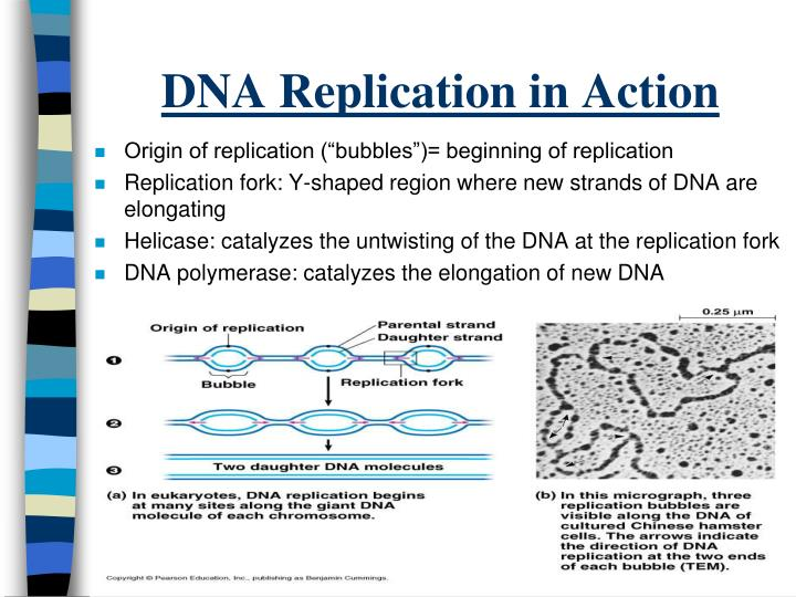 DNA Replication in Action