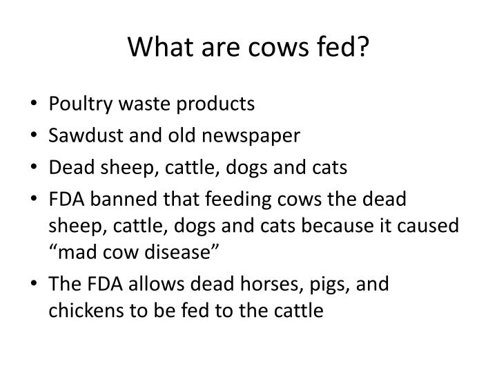 What are cows fed?