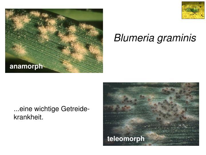 Blumeria graminis