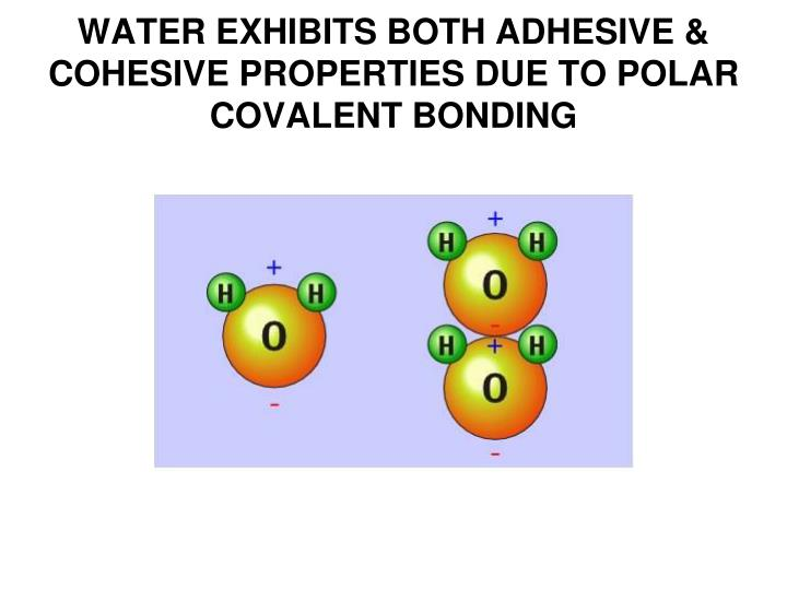 WATER EXHIBITS BOTH ADHESIVE &  COHESIVE PROPERTIES DUE TO POLAR COVALENT BONDING
