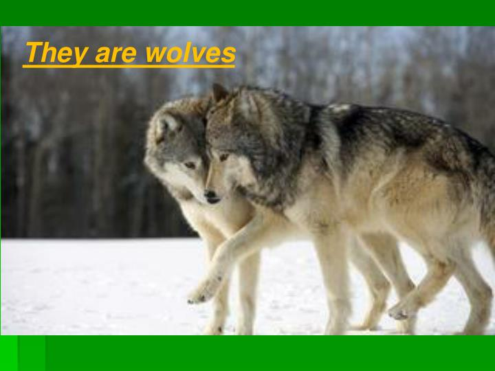 They are wolves