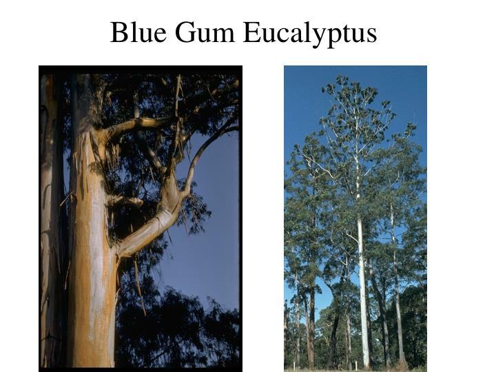 Blue Gum Eucalyptus