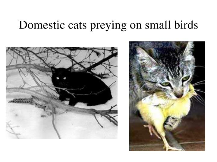 Domestic cats preying on small birds