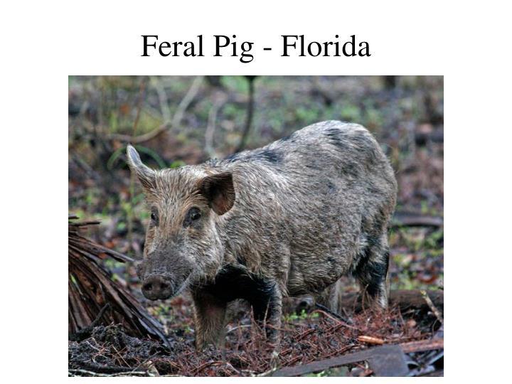 Feral Pig - Florida