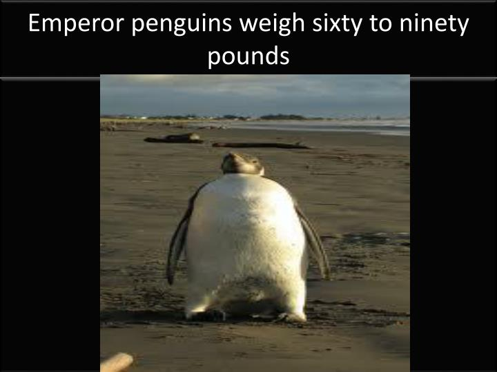Emperor penguins weigh sixty to ninety pounds